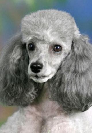 Пудели - одни из самых умных собак 1 иПудель (нем. Pudel, от